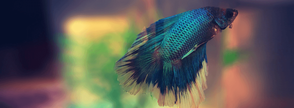 siamese fighting fish facts pet circle